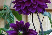 yildız çiçeği