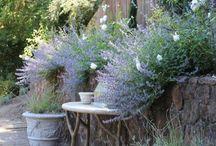Lavender**my love**