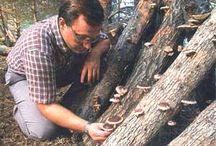 Выращивание шитаки