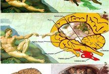 Michelangelo glanda pineala