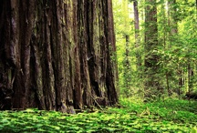 Redwood Forest / The amazing height of Redwood Tree has long been the catalyst for a tourist hot spot in Northern California