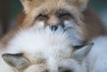 Foxes♡|Foxtail