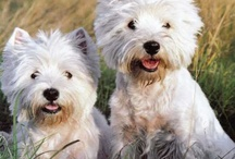 Westies! / ADorable Westies and other fab puppies!