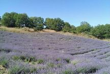 Τα χωράφια με λεβάντα στη Λούβρη Βοϊου Κοζάνης / Δείτε τα χωράφια όπου καλλιεργούμε το αρωματικό φυτό  λεβάντα