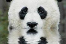 Pandas / I <3 them!!