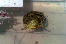 Ares / Vita da tartaruga