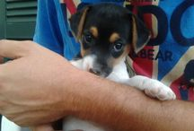♥Uma♥ / When a Jack Russell enters your life everything changes....in a better way