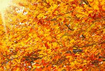 Autumn Trees and Fall Foliage / See the beauty of fall foliage and learn about some perfect autumn tree species.