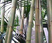 Bamboo / Bambusz