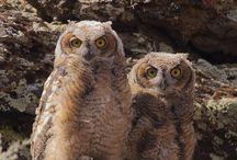 gufi owl
