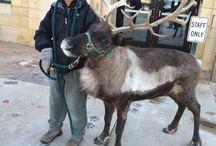 Reindeer / Como Zoo's Reindeer
