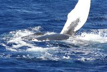 Maui in March / Humpback whales