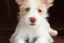 Podencos / Some cute podencos to cheer you up!