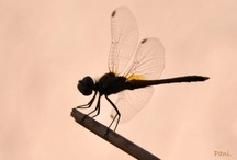 Dragon fly & Geko / Creature of the Wind and a little geko family of my terrace :)