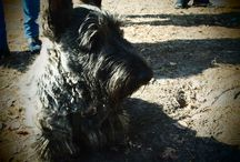 Maciuś the Dog / A board full of photos of our wonderful #scottishterrier #scottiedog #scotties