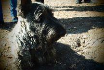Maciuś the Dog / A board full of photos of our wonderful #scottishterrier #scottiedog #scotties