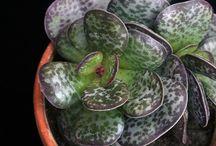 Adromischus-succulent