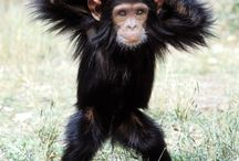 Jane's Chimps / Beautiful photographs of chimpanzees and apes in honor of Jane Goodall.