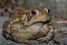toads / A toad used to visit every night outside the patio doors, under the lights, where insects would gather.