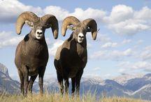 Columbia Valley Wildlife