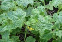 Plantas Medicinales / Conoce las Propiedades y Virtudes de cada Planta o Hierba para utilizarla en Beneficio de tu Salud.
