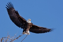 Bald Eagles call us Home / Did you know that Alton and the surrounding areas is home to the 2nd largest population of bald eagles? They come for the fish found in the cold waters of the Mississippi and Illinois Rivers. The birds begin arriving in late December and stay until March, so there's plenty of time to do a little eagle watching. / by Visit Alton