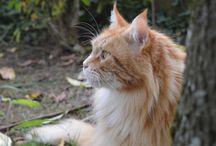 My Maine Coon ❤️ / La mia passione per i gatti e questa razza