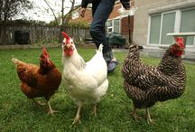 The Birds and the Bees / chickens, bees and other urban farming animals!