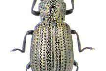 hydrochidae