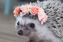 hedgehodge