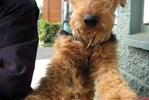 AIREDALES / The awesome King of Terriers!