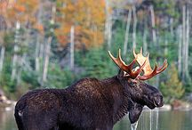 Moose art, books,etc. / by Rita Rotondo