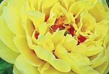Yellow Peonies / Yes, Yellow Peonies are now here!  Perfect for Thanksgiving and for those brides who want the softness of yellow