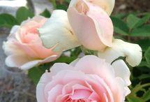 Il giardino segreto delle rose inglesi by Carla™