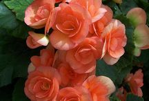 BEGONIAS / Begonia is a genus of perennial flowering plants in the family Begoniaceae. The genus contains 1,795 different plant species. The Begonias are native to moist subtropical and tropical climates. Some species are commonly grown indoors as ornamental houseplants in cooler climates. In cooler climates some species are cultivated outside in summertime for their bright colourful flowers, which have sepals but no petals. (Wikipedia)