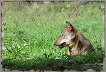 Los Lobos. / Los lobos de Belmonte; Belmon, Tino y compañía.