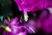 Christmas Cactus / The Christmas cactus (Zygocactus) is native to the South American jungles. The flowers bloom once a year and come in shades of fuchsia, yellow, salmon, pink, white, orange, red and sometimes will even have a combination of the colors.