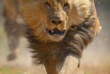 LEO / My 'sign' is Leo and I feel it fits me to a 'T'!  Love how majestic and powerful these animals are!