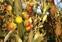 Olio extravergine di oliva / Il duro lavoro per creare l'oro verde, dal 2013 biologico. The hard work to produce the real olio extravergine di oliva, organic starting 2013
