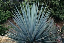Sweetstuff Yucca
