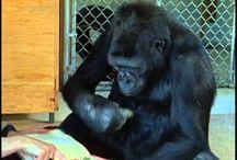 Gorillas / Gorilla Videos