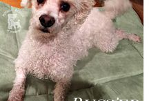Available Poodles / These are some of our available dogs.  Please visit our website to see all of our available poodles or to fill out an adoption or foster application at www.poodlerescuevt.org.