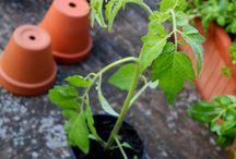 Tomaten, Chili u.co