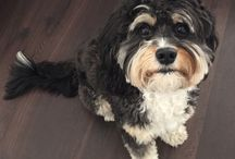 Griffin Knox : CAVAPOO / >>our fur baby<<