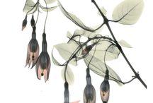Fuchsias in Art
