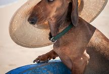 Dachshunds at the Beach / Sand in your doxie's toes!