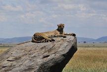Tanzania Safari Travel / Tanzania safaris visit a vibrant and beautiful country with best national parks
