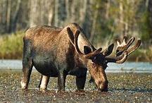 Just Moose