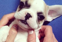 Tony the Frenchie / Born 07/20/14 and the joy of our little fam.