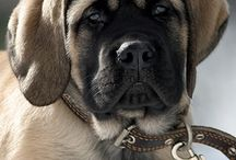 Mastiffs and other dogs<3